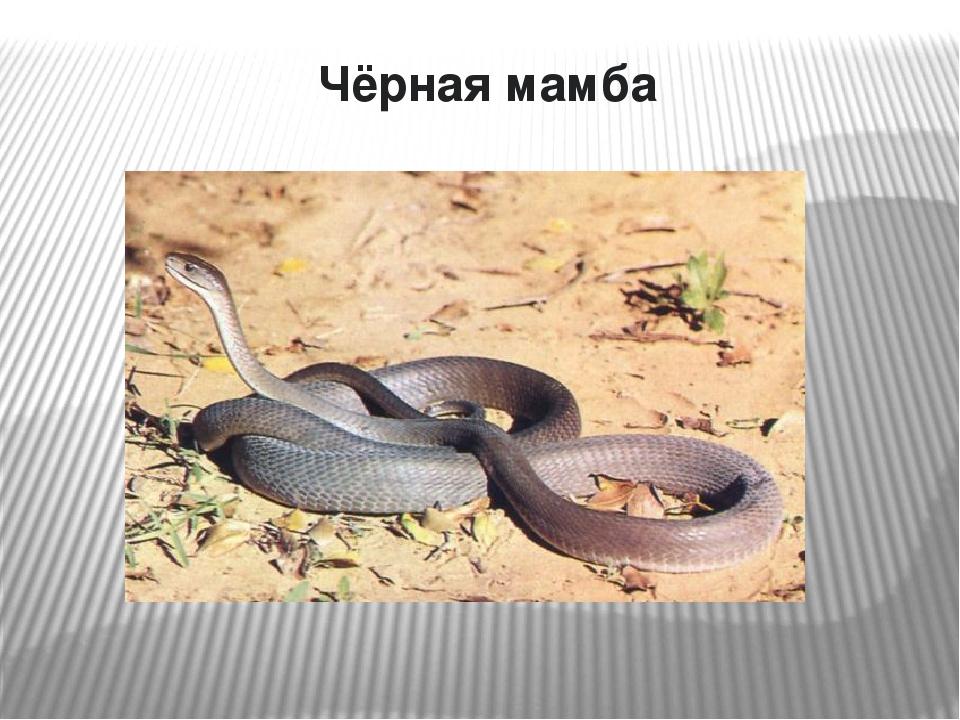 Mamba den