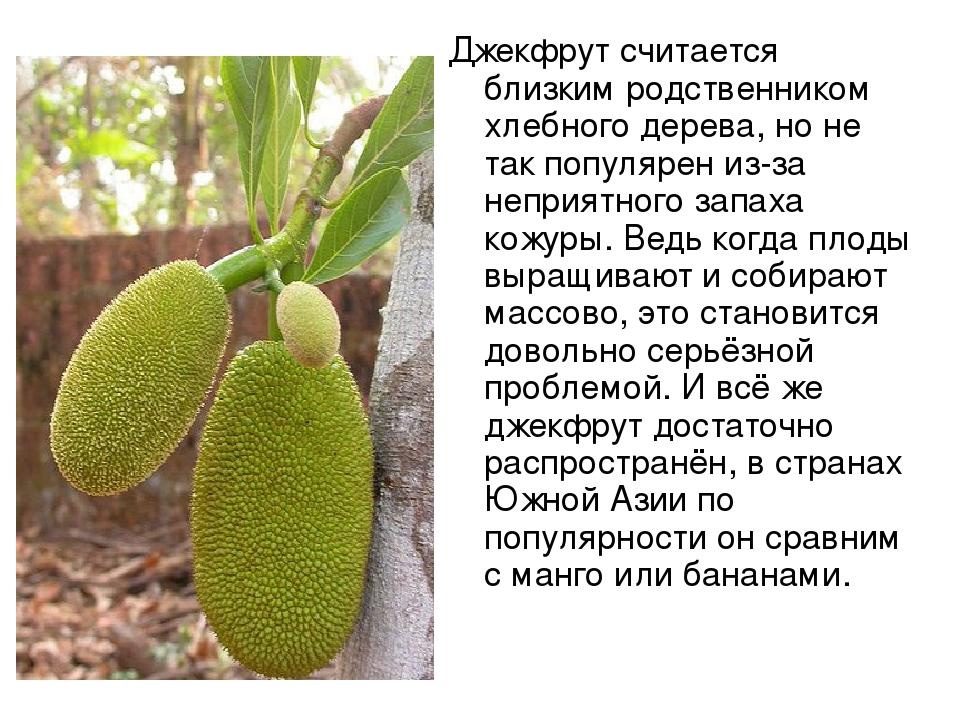 Джекфрут считается близким родственником хлебного дерева, но не так популярен...