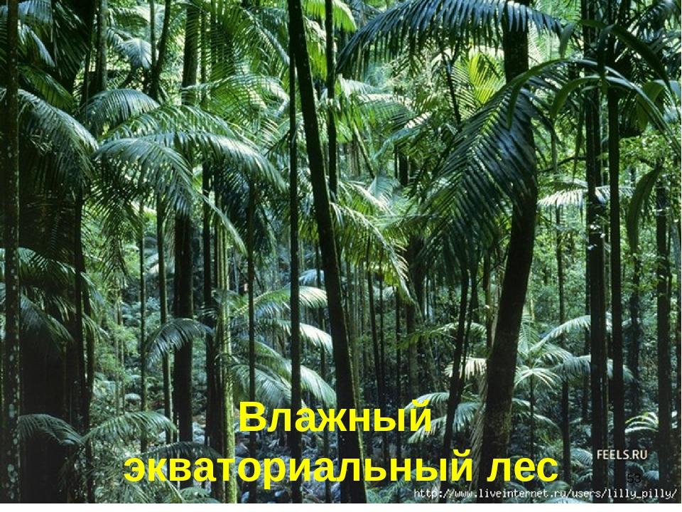 Влажный экваториальный лес *