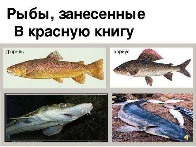 Речно-озерная, оседлая, стайная, придонная рыба.