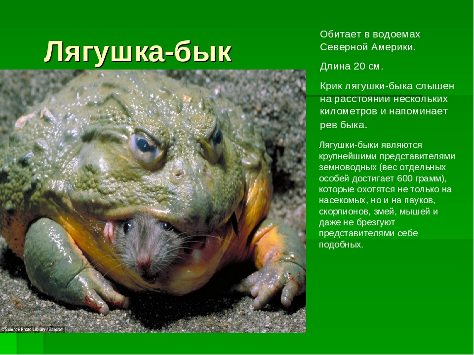 Лягушка-бык Обитает в водоемах Северной Америки. Длина 20 см. Крик лягушки-бы...