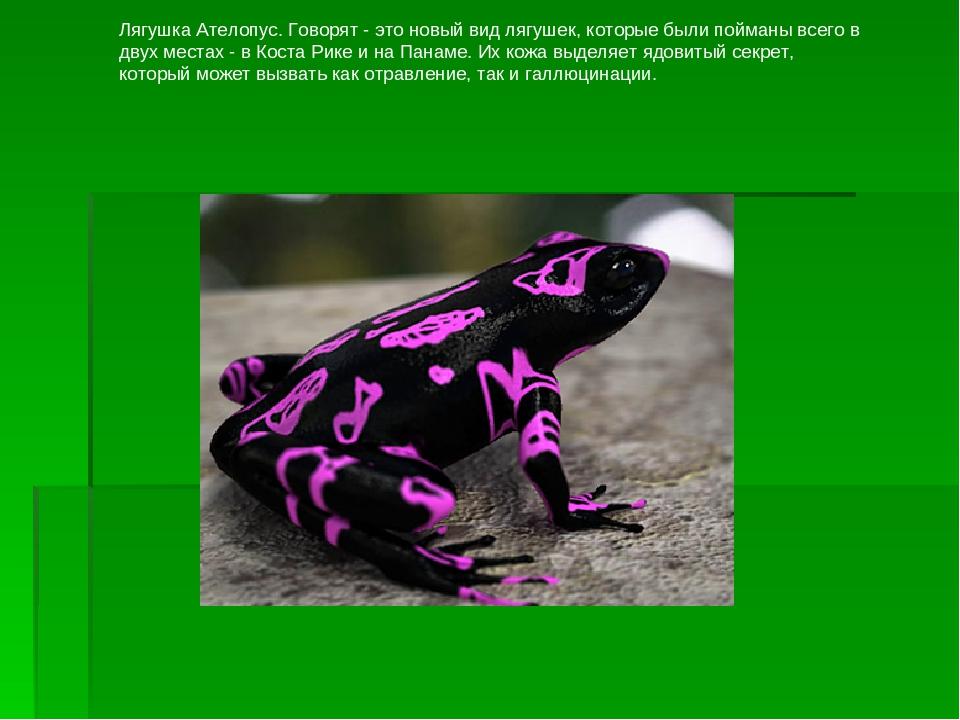 Лягушка Ателопус. Говорят - это новый вид лягушек, которые были пойманы всего...