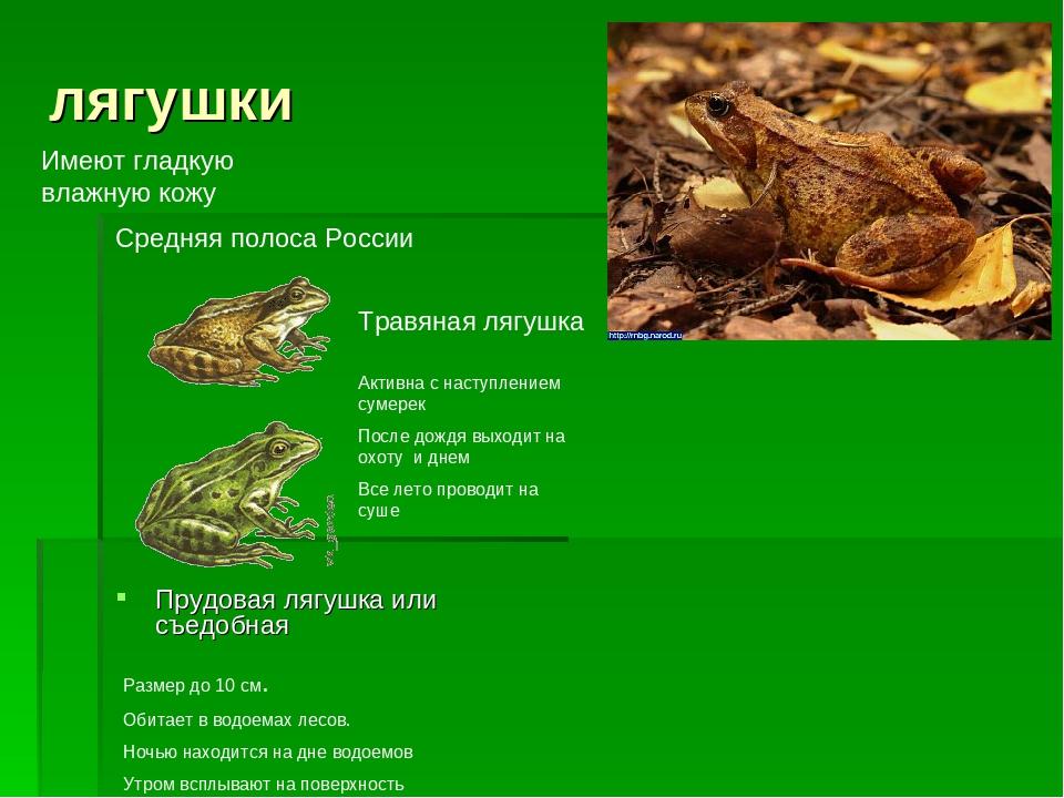 лягушки Прудовая лягушка или съедобная Травяная лягушка Средняя полоса России...