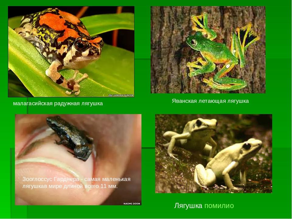 малагасийская радужная лягушка Зооглоссус Гарднера - самая маленькая лягушкав...