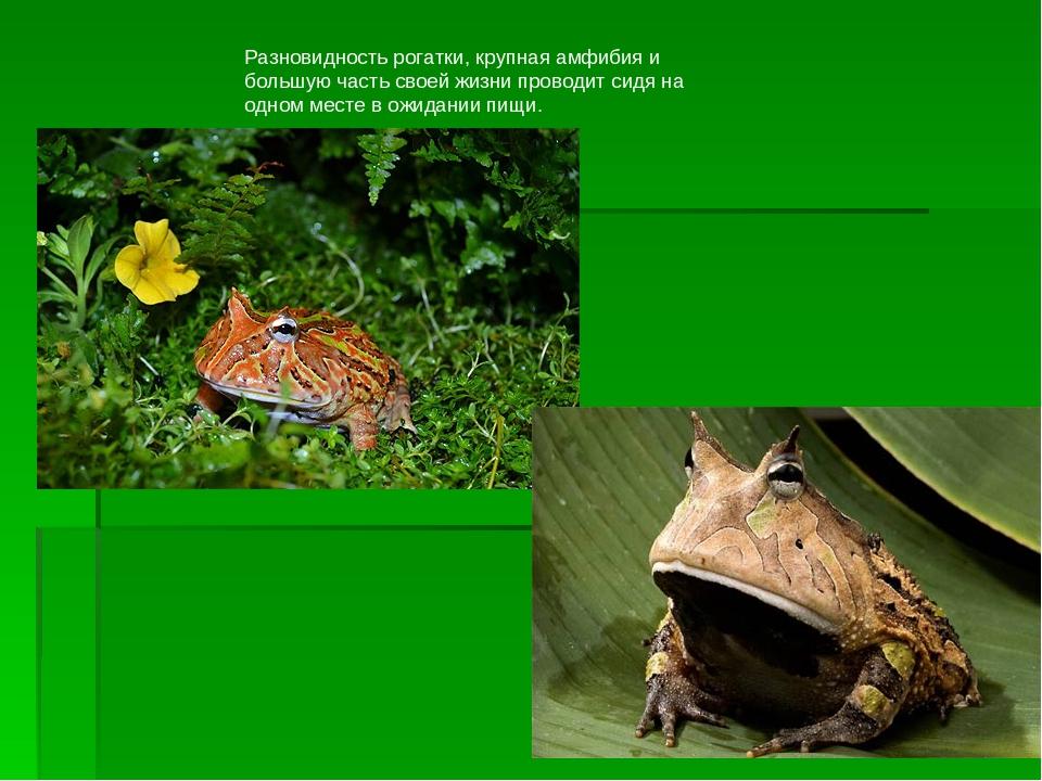 Разновидность рогатки, крупная амфибия и большую часть своей жизни проводит с...