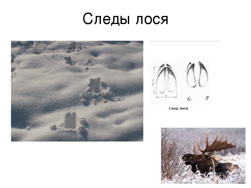 Лось следы лося в картинках