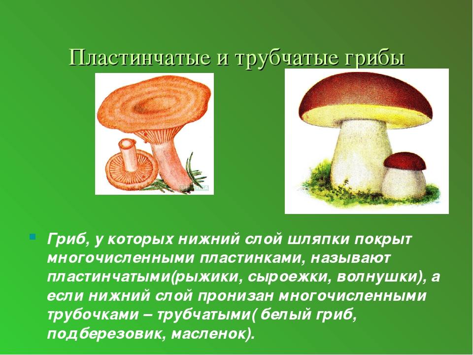 тут виды трубчатых грибов фото и описание начале
