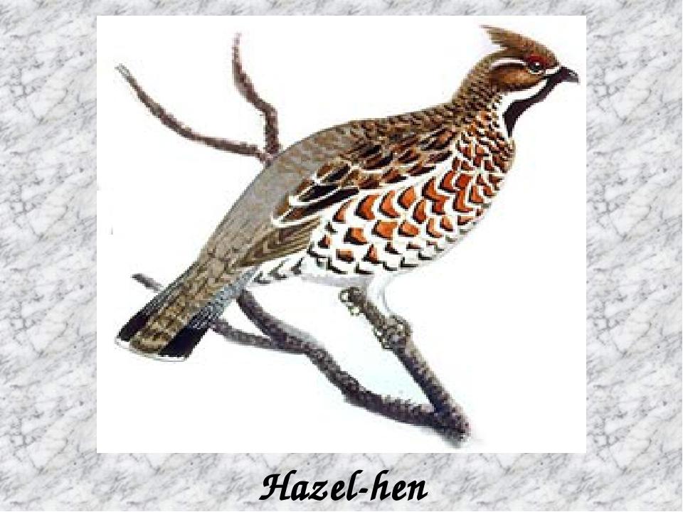 Hazel-hen