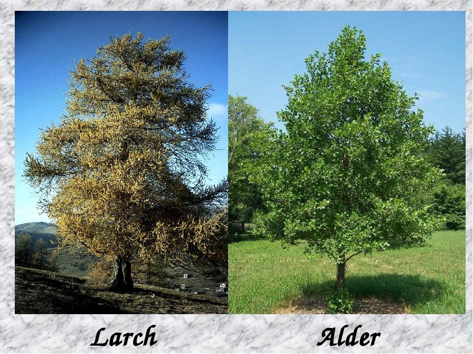 Larch Alder