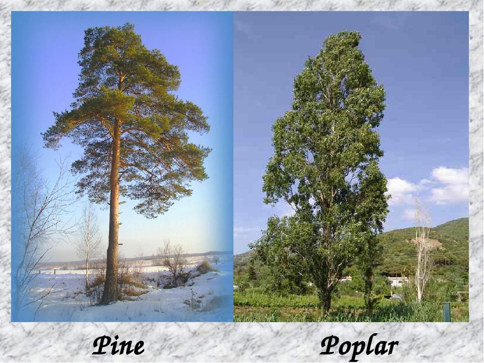 Pine Poplar
