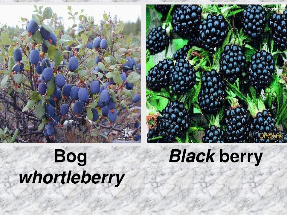 Bog whortleberry Black berry