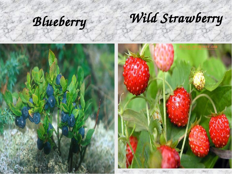 Blueberry Wild Strawberry