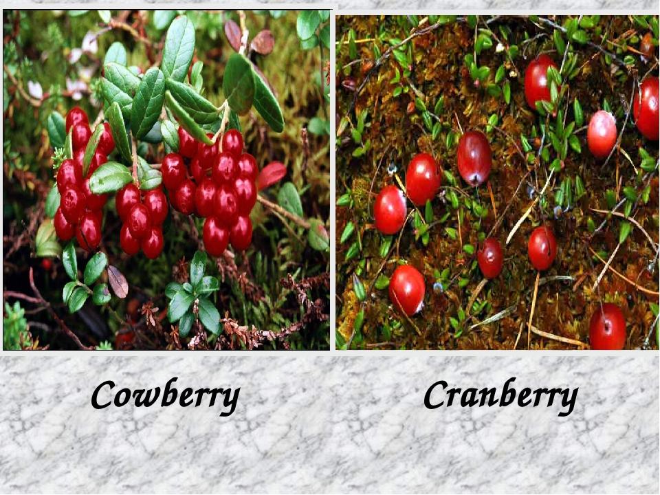 Cowberry Cranberry