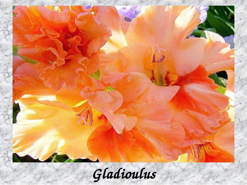 Gladioulus