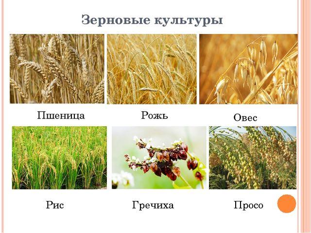 картинки зерновых растений с названиями нём священно- церковно