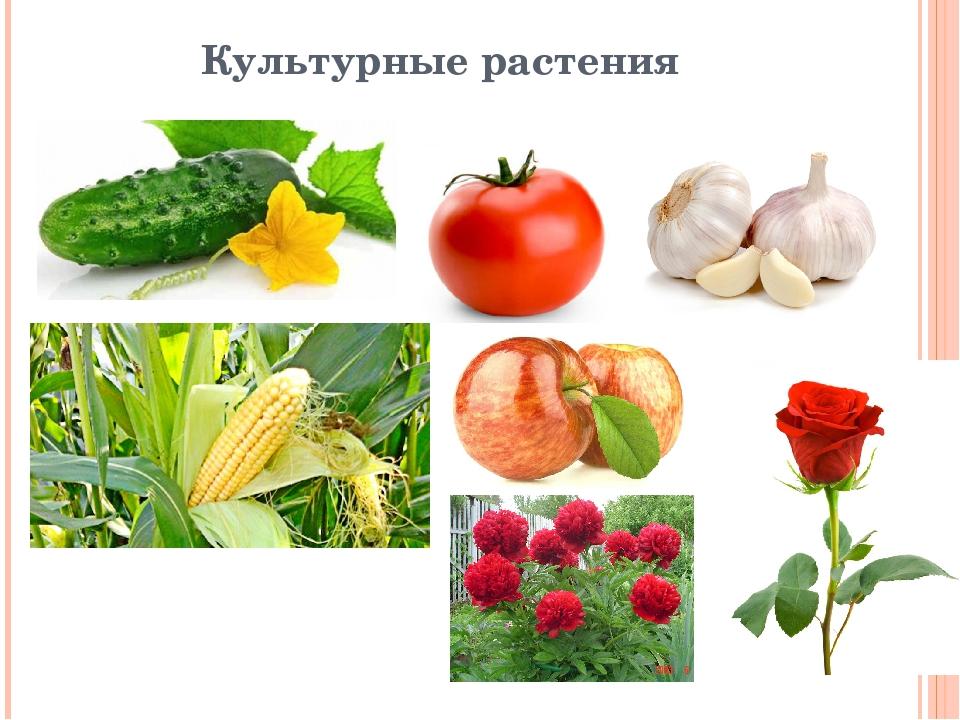 культурные растения примеры фото ведитесь