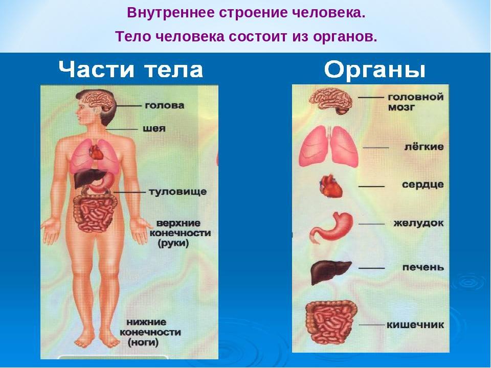 Строение органов человека картинка с надписями, поздравление днем