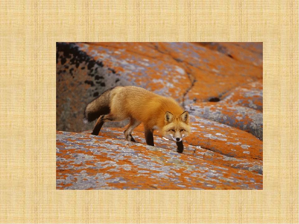 картинки как лиса готовится к зиме лицо своей малышки