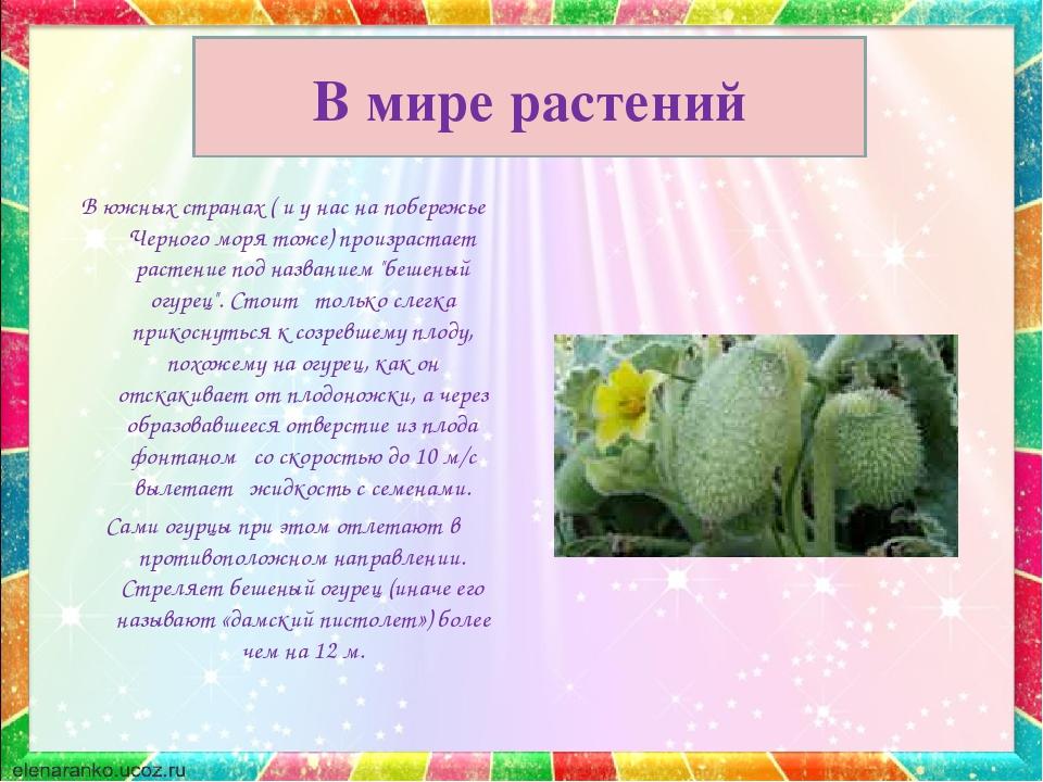 В мире растений В южных странах ( и у нас на побережье Черного моря тоже) про...