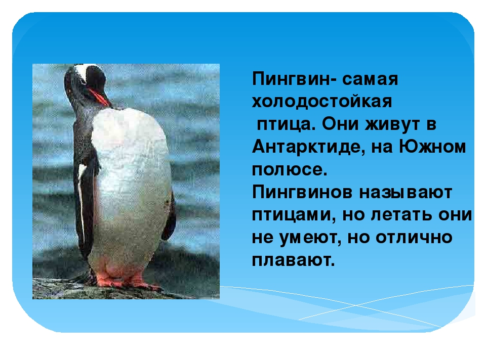 Пингвин- самая холодостойкая птица. Они живут в Антарктиде, на Южном полюсе....