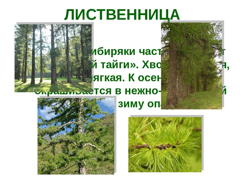 ЛИСТВЕННИЦА Это дерево сибиряки часто величают «Королевой тайги». Хвоя его гу...