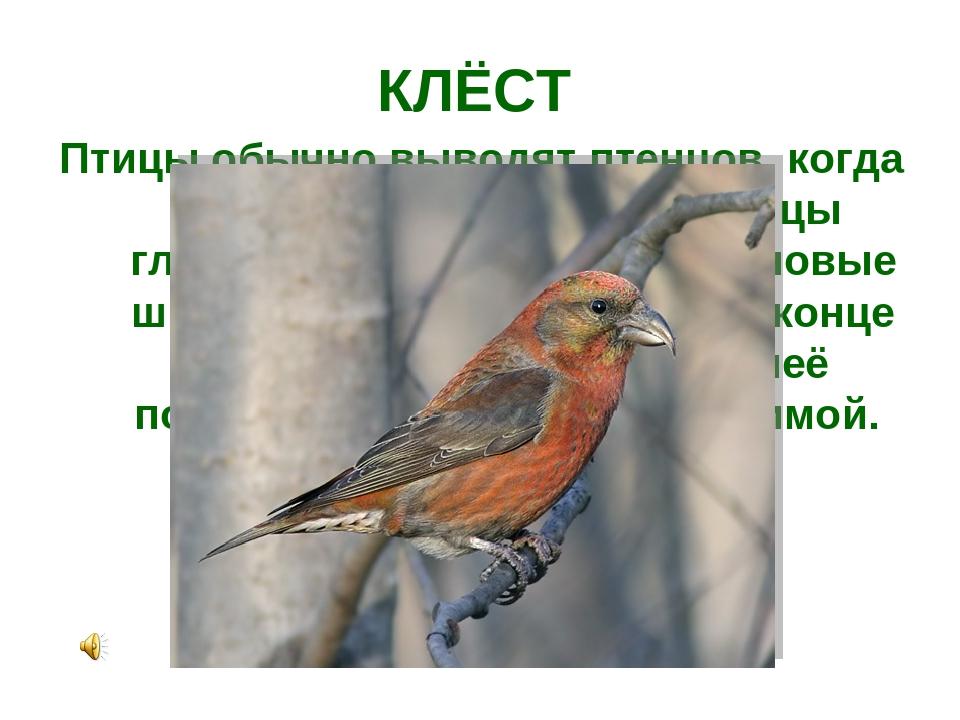 КЛЁСТ Птицы обычно выводят птенцов, когда у них много еды. У этой птицы главн...