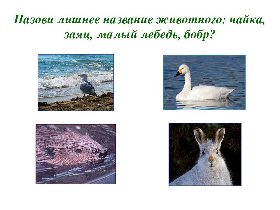Назови лишнее название животного: чайка, заяц, малый лебедь, бобр?