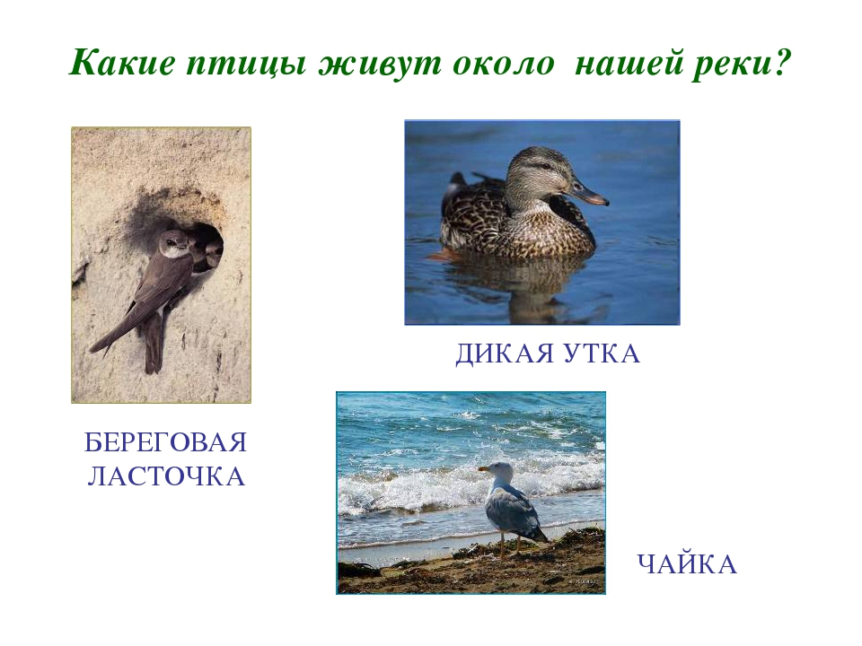 Какие птицы живут около нашей реки? БЕРЕГОВАЯ ЛАСТОЧКА ДИКАЯ УТКА ЧАЙКА