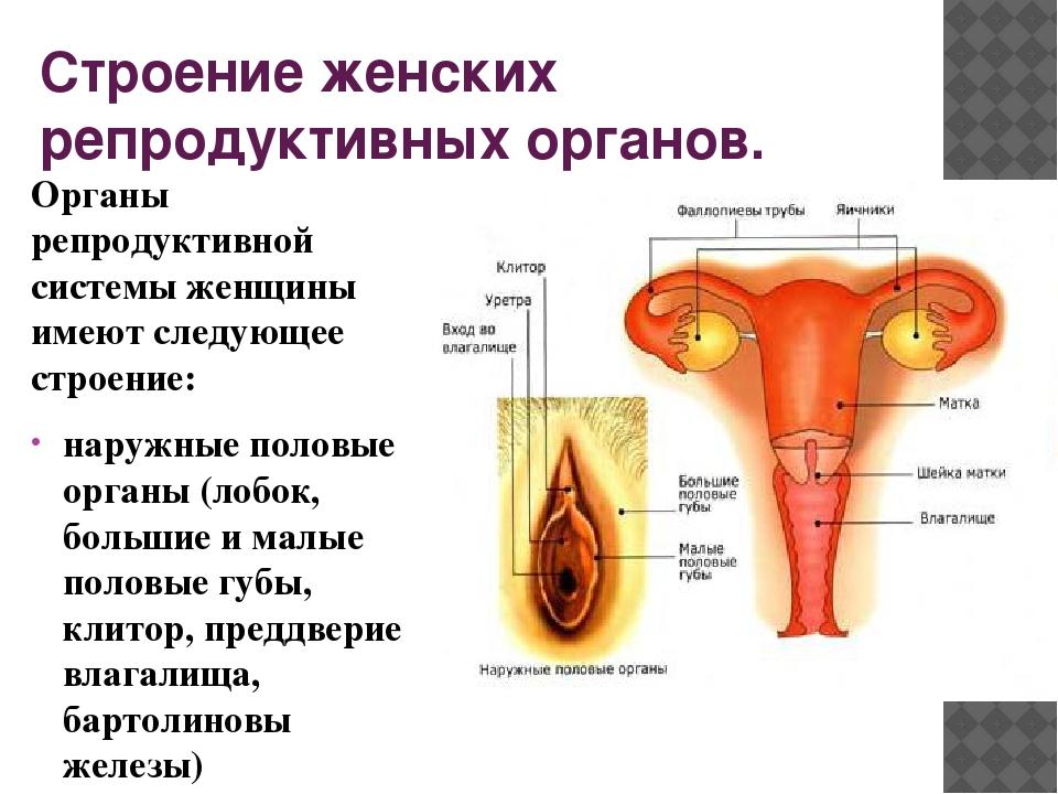 Строение женской интимной зоны в картинках