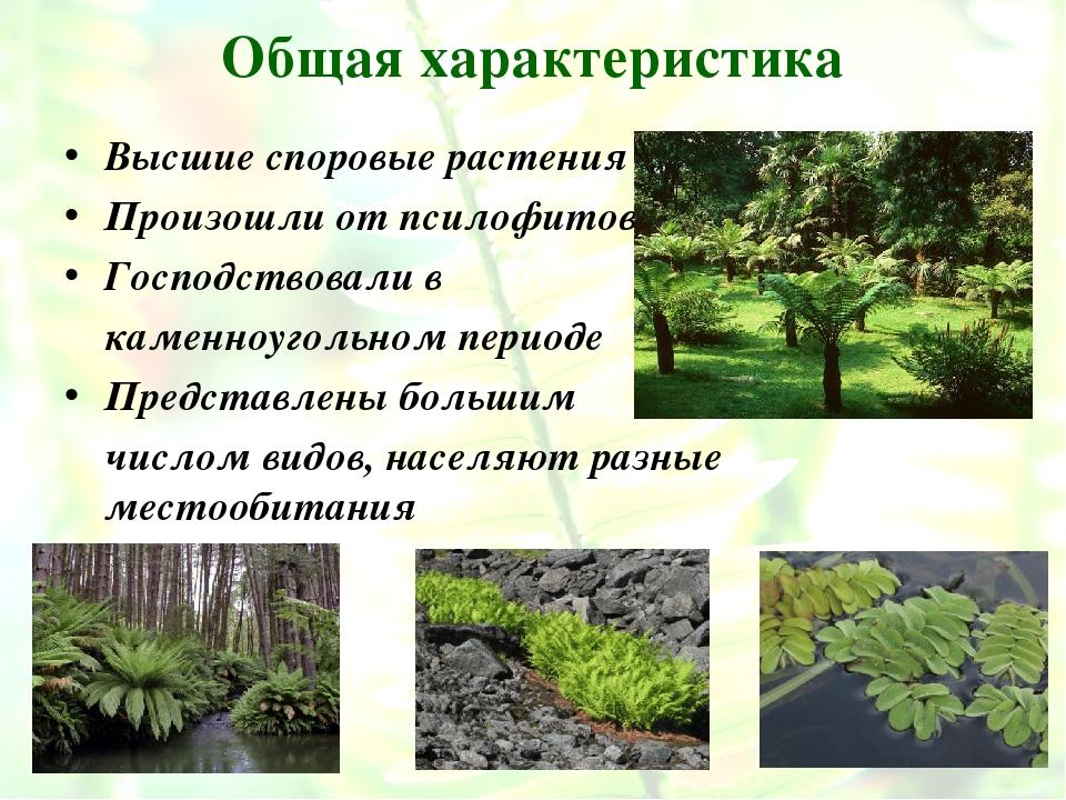 Общая характеристика Высшие споровые растения Произошли от псилофитов Господс...