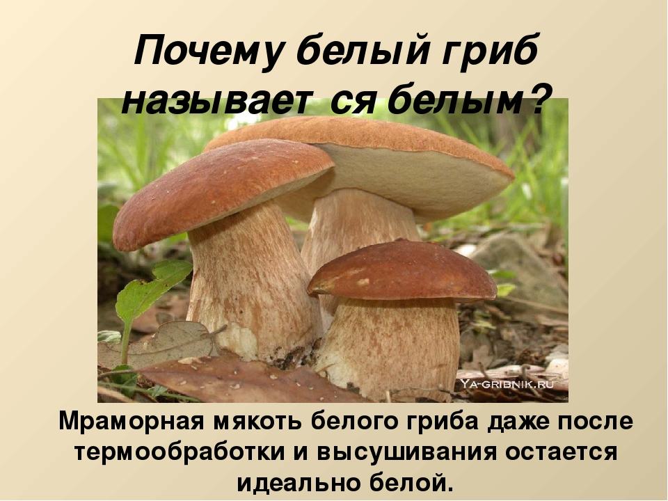Почему белый гриб называется белым? Мраморная мякоть белого гриба даже после...