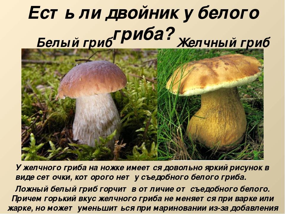 Есть ли двойник у белого гриба? Белый гриб Желчный гриб У желчного гриба на н...
