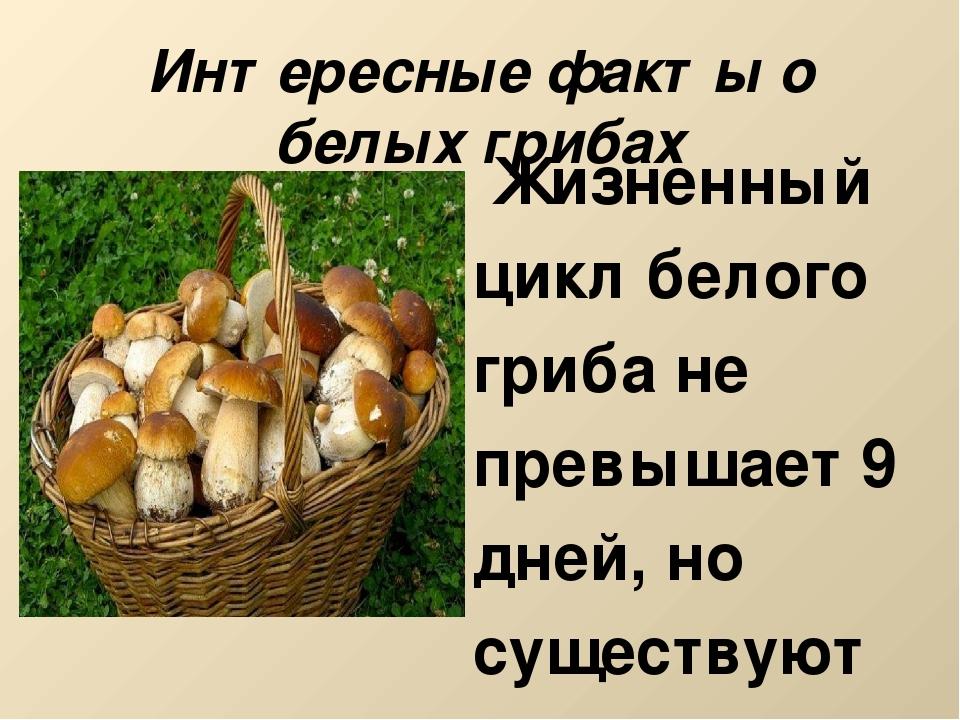 Интересные факты о белых грибах Жизненный цикл белого гриба не превышает 9 дн...