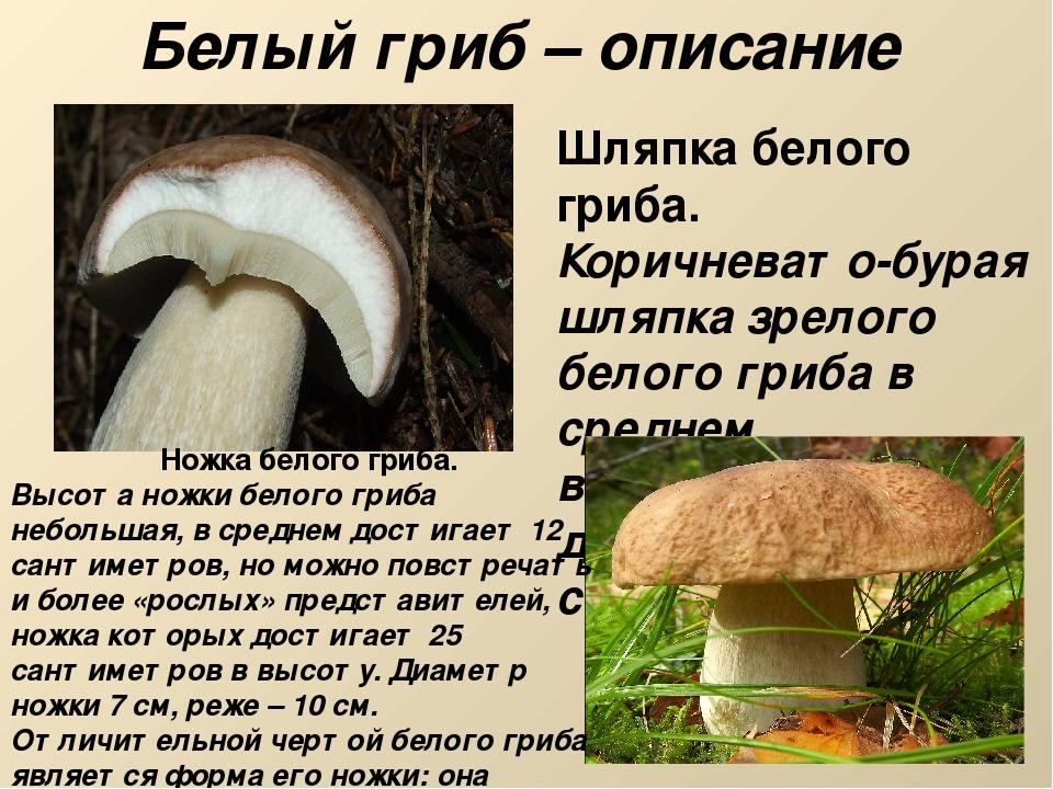 вампирша, главный разновидности белого гриба фото и описание частности, отбывающей наказание