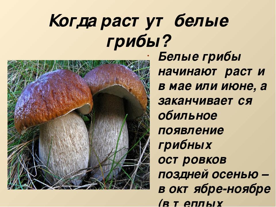 Когда растут белые грибы? Белые грибы начинают расти в мае или июне, а заканч...