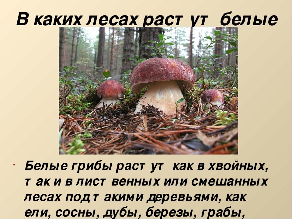 В каких лесах растут белые грибы? Белые грибы растут как в хвойных, так и в л...