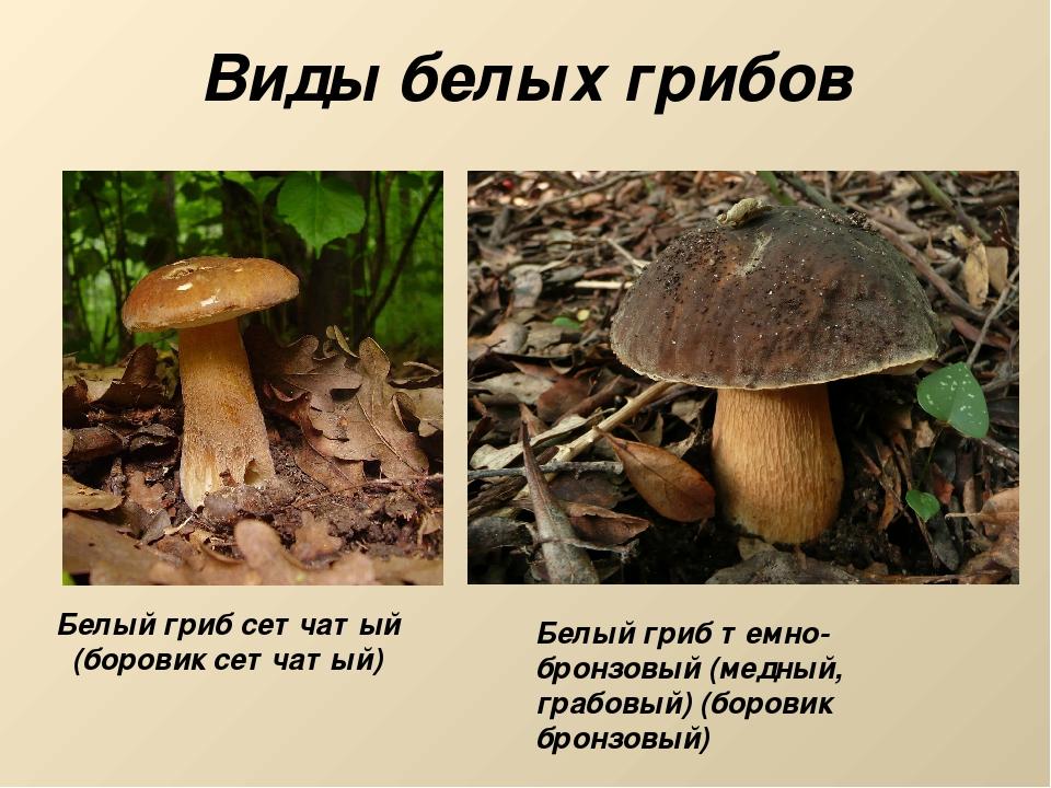 Виды белых грибов Белый гриб сетчатый (боровик сетчатый) Белый гриб темно-бро...