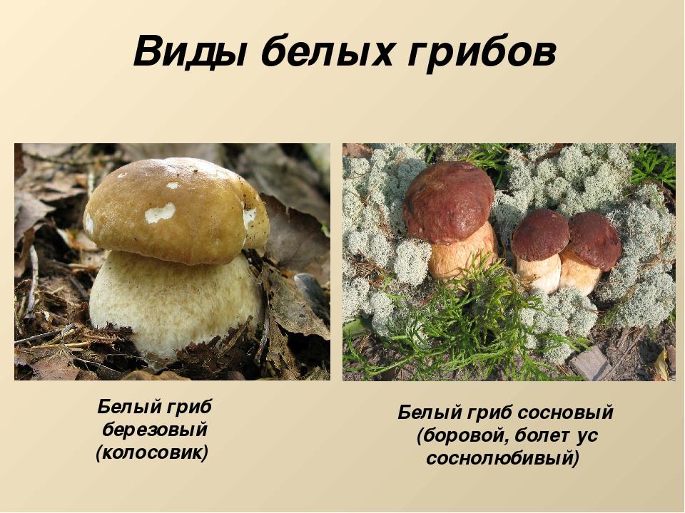 Виды белых грибов Белый гриб березовый (колосовик) Белый гриб сосновый (боров...