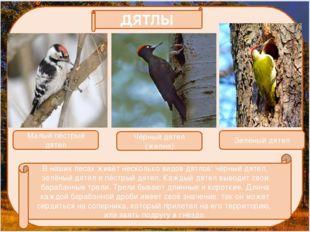 В наших лесах живёт несколько видов дятлов: чёрный дятел, зелёный дятел и пё
