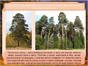 Сравните сосну, выросшую в лесу, и сосну на опушке леса. Объясните различия