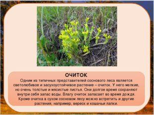 ОЧИТОК Одним из типичных представителей соснового леса является светолюбивое