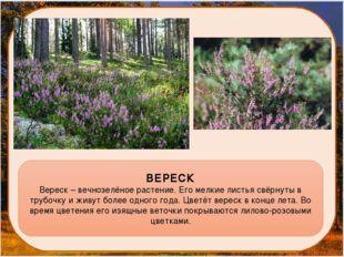ВЕРЕСК Вереск – вечнозелёное растение. Его мелкие листья свёрнуты в трубочку