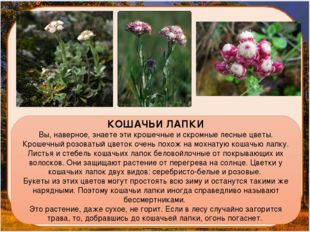 КОШАЧЬИ ЛАПКИ Вы, наверное, знаете эти крошечные и скромные лесные цветы. Кр