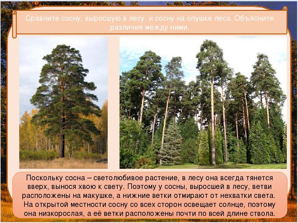 Сравните сосну, выросшую в лесу, и сосну на опушке леса. Объясните различия...
