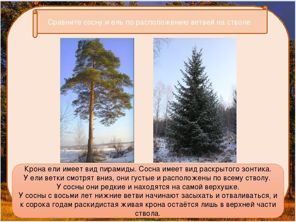 Сравните сосну и ель по расположению ветвей на стволе. Крона ели имеет вид п...