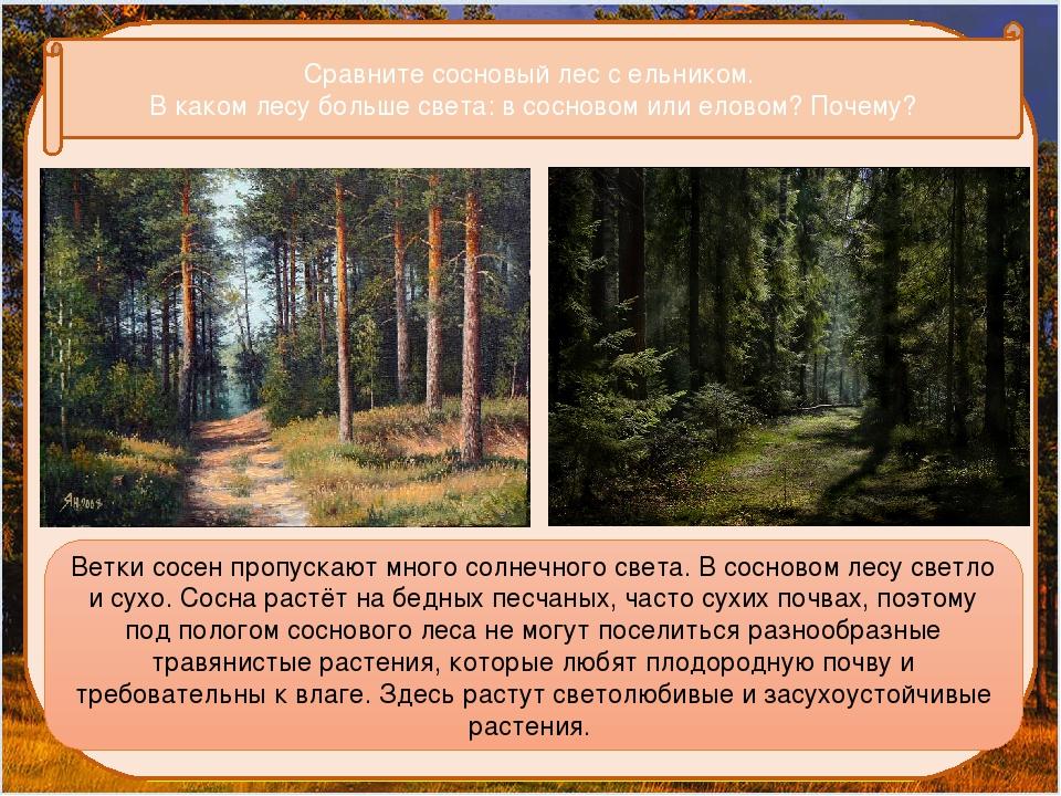 Сравните сосновый лес с ельником. В каком лесу больше света: в сосновом или...