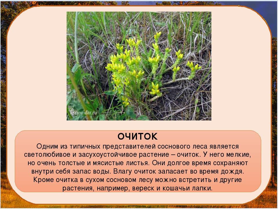 ОЧИТОК Одним из типичных представителей соснового леса является светолюбивое...