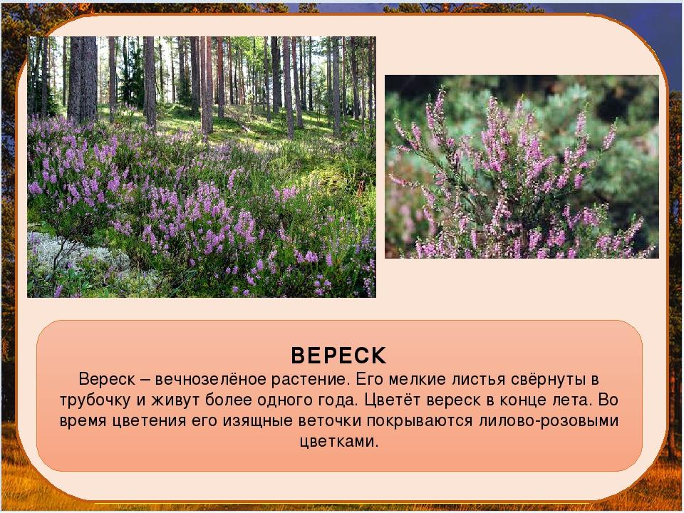 ВЕРЕСК Вереск – вечнозелёное растение. Его мелкие листья свёрнуты в трубочку...