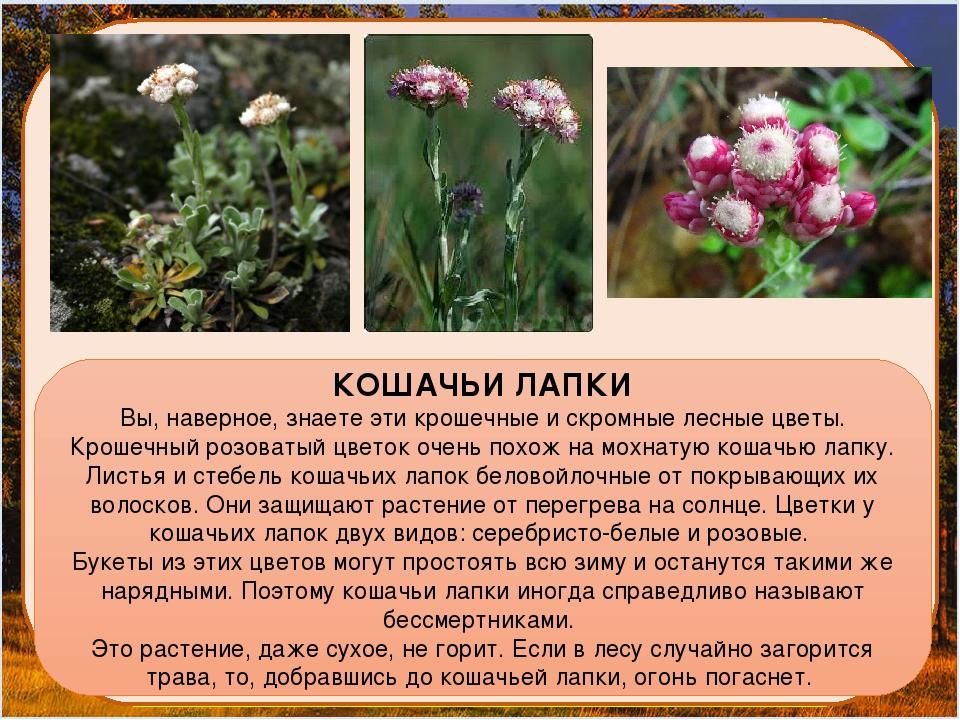 КОШАЧЬИ ЛАПКИ Вы, наверное, знаете эти крошечные и скромные лесные цветы. Кр...