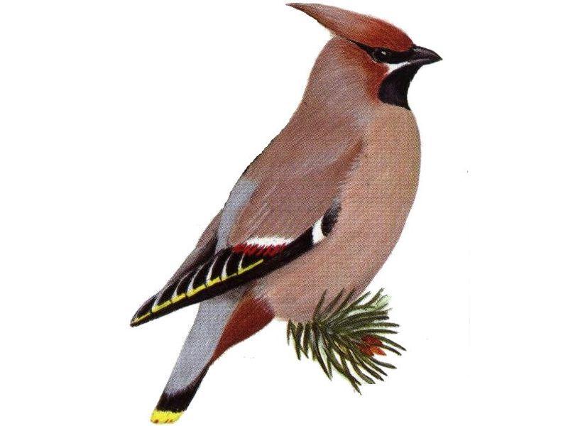 Картинка зимующие птицы для детей на прозрачном фоне, днем рождения